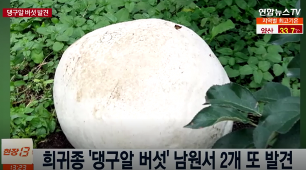 댕구알 버섯